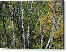 Acrylic Print featuring the photograph White Birches In The Woods by Denyse Duhaime