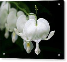 White Bleeding Hearts Acrylic Print by Rona Black