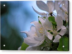 White Blooms Acrylic Print by Amee Cave