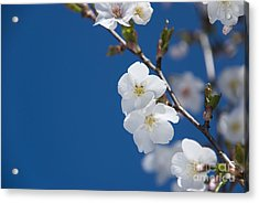 White Blossom Acrylic Print by Anne Gilbert