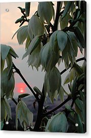 White Blossom Sunset Acrylic Print by Dorothy Berry-Lound