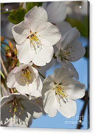White Blossoms Acrylic Print by Dale Nelson