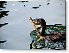 White Breasted Cormorant Acrylic Print by Bonnie Fink