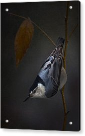 White Breasted Nuthatch Acrylic Print by Ron Jones