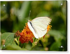 White Butterfly On Mexican Flame Acrylic Print by Debra Martz