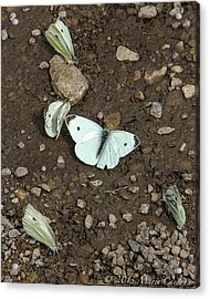 White Cabbage Butterflies Acrylic Print by Marie  Cardona