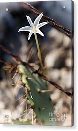 Acrylic Print featuring the photograph White Cactus Flower by Erika Weber