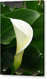 Acrylic Print featuring the photograph White Calla by Lew Davis