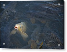 White Carp In The Lake Acrylic Print
