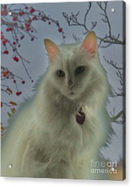 White Cat Dreams Acrylic Print by Judy Via-Wolff