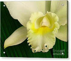 White Cattleya Orchid Acrylic Print