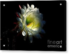 Acrylic Print featuring the photograph White Cereus by Ruth Jolly