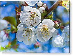 White Cherry Blossoms Blooming In The Springtime Acrylic Print