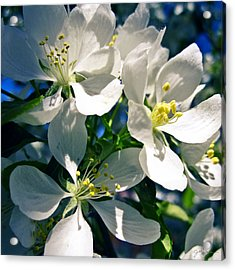 White Cherry Blossoms In The Spring Acrylic Print by Julie Magers Soulen