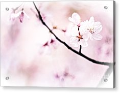 White Cherry Blossoms In The Sunlight Acrylic Print