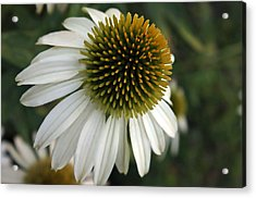 White Coneflower Acrylic Print by Ellen Tully