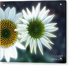 White Conehead Daisy Acrylic Print by Arlene Carmel