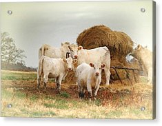 White Cows Acrylic Print by Bonnie Willis