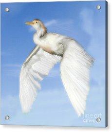 White Crane Acrylic Print by Raymond Earley