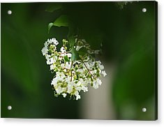 Acrylic Print featuring the photograph White Crepe Myrtle Blossom by Suzanne Powers