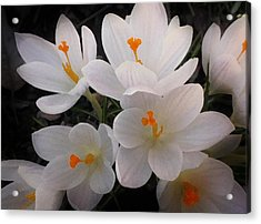 White Crocuses Acrylic Print