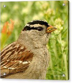 Acrylic Print featuring the photograph White Crowned Sparrow Portrait by Bob and Jan Shriner
