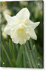 White Daffodil Flower Acrylic Print by Jennie Marie Schell
