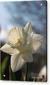 White Daffodil Acrylic Print by Jennifer E Doll