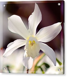 White Daffodil Acrylic Print by Tommytechno Sweden
