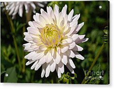 Acrylic Print featuring the photograph White Dahlia Flower by Scott Lyons