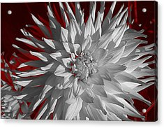 White Dahlia Acrylic Print by Richard Farrington