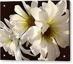 White Daisies In Sunshine Acrylic Print by Susan Savad
