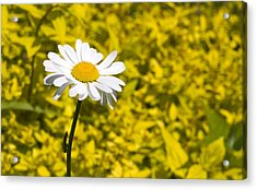 White Daisy In Yellow Garden Acrylic Print