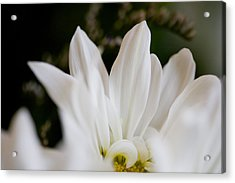 White Daisy Acrylic Print by John Holloway