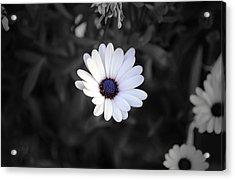White Daisy Acrylic Print by Sumit Mehndiratta