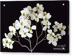 Acrylic Print featuring the photograph White Dogwood Branch by Jeannie Rhode