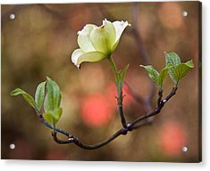 White Dogwood In Early Spring Acrylic Print by Frank Tozier
