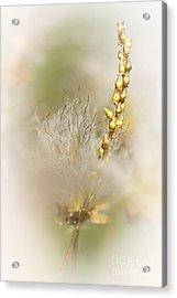 White Dryas  Acrylic Print by Heiko Koehrer-Wagner