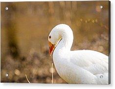 White Duck Acrylic Print by Eleanor Abramson