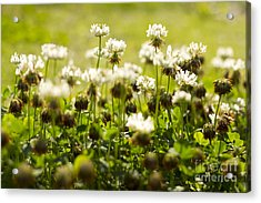 White Dutch Clover Wild Plants In The Sunshine Acrylic Print