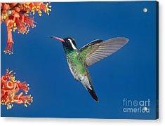 White-eared Hummingbird Acrylic Print by Anthony Mercieca
