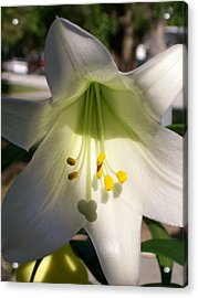 White Easter Lily Acrylic Print by Belinda Lee