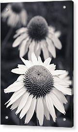 White Echinacea Flower Or Coneflower Acrylic Print