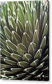 White Edged Cactus Stems 2 Acrylic Print by Douglas Barnett