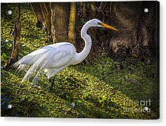 White Egret On The Hunt Acrylic Print