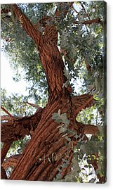 White Eucalyptus Tree Acrylic Print by Jennifer Muller