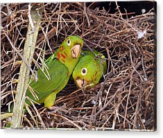 White-eyed Parakeets Nesting Acrylic Print by Science Photo Library