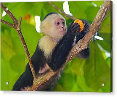 White-faced Capuchin Acrylic Print by Brian Magnier