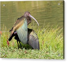 Acrylic Print featuring the photograph White-faced Ibis 1 by Bob and Jan Shriner