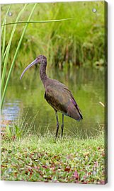 Acrylic Print featuring the photograph White-faced Ibis 2 by Bob and Jan Shriner